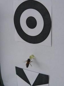 Imagen en la que se ve a una abeja eligiendo un estímulo con dos figuras que satisfacían al doble concepto: arriba/abajo (una encima de la otra), y además 'diferencia' (una diferente de la otra). En el medio del estimulo una pequeña canula dispensaba solución azucarada como recompensa.  Créditos: Gentileza del Dr. Martín Giurfa