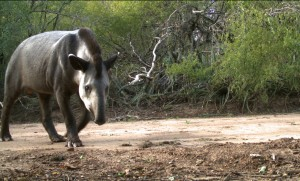 Tapir (Tapirus terrestris) in dry chaco forest from La Fidelidad Argentina