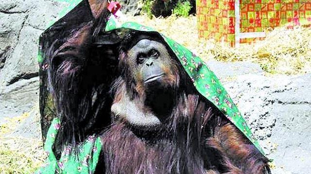 Sandra-orangutana-zoologico-porteno-libertad_IECIMA20141222_0005_7