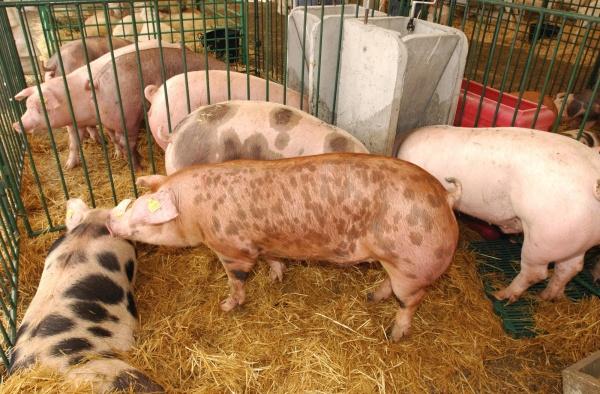 gobierno-establece-medidas-deteccion-precoz-enfermedades-ganado-porcino_1_691649