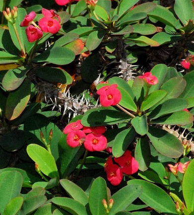 Corona-de-Cristo_Euphorbia-milii-splendens