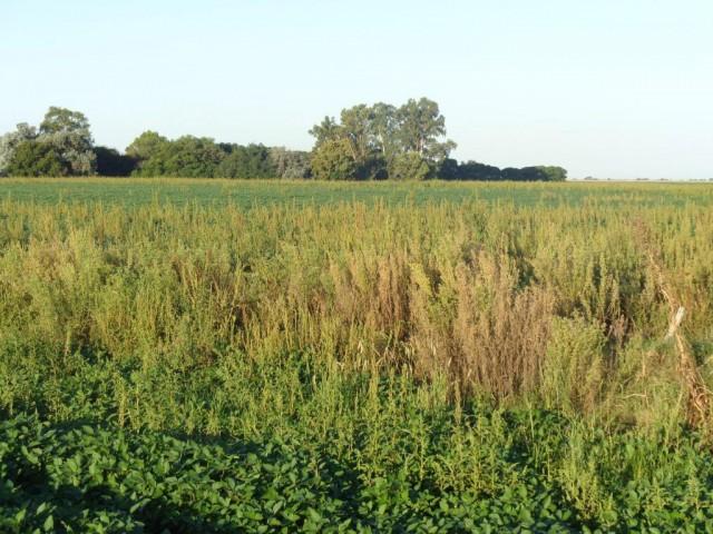 Yuyo colorado sobre un cultivo de soja (1)