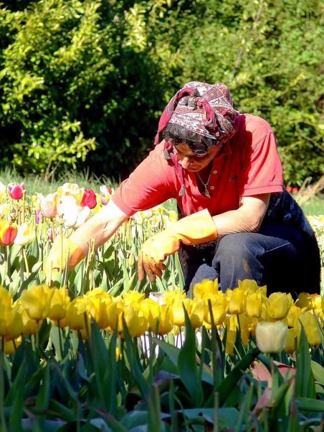 lita-tulipanes