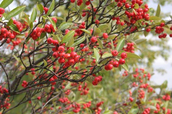 Choke-Berries rojo
